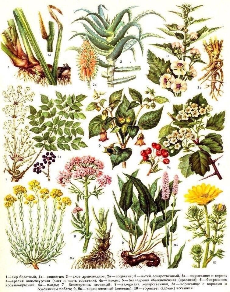 аир, горицвет, боярышник и другие лекарственные растения внешний вид