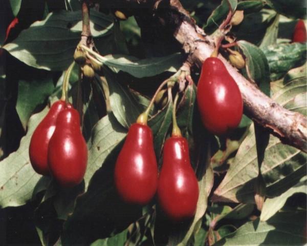 Привитой кизил с крупными грушевидными ягодами