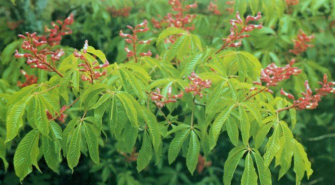 Почему саженец красного каштана стоит 2000 евро? Полезные свойства и выращивание каштана конского.
