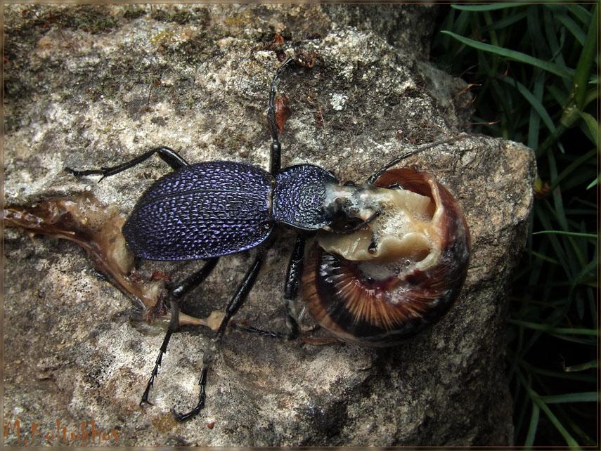 Жужелица Крымская (Чернильный жук)