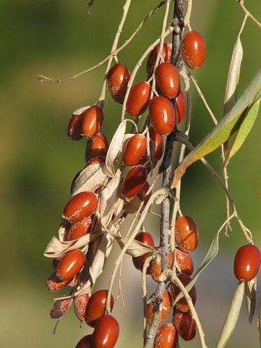 Джида (съедобные плоды лоха узколистного), Узбекистан, фото Елены Чаусовой