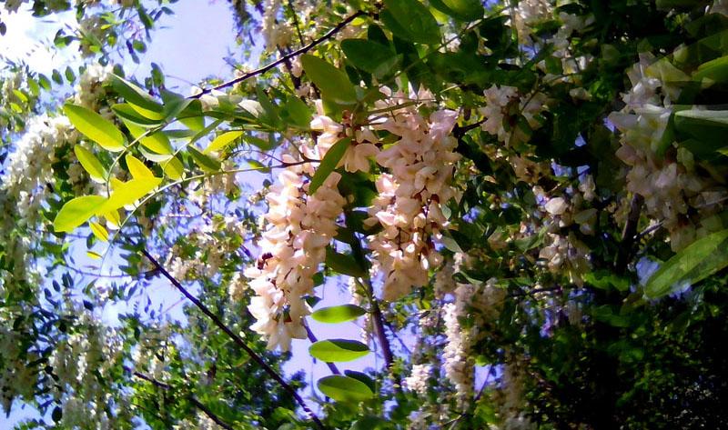 умеете-ли-вы-правильно-есть-цветки-белой-акации-в-их-основании-нектар-и-энзимы