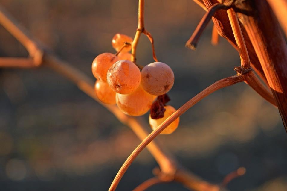 что такое шабловка винограда