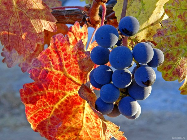 шабловка винограда