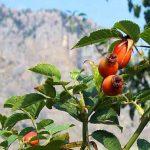 Шиповник дает на чай много: сухие ветки для розжига, в чай - кусочек корня, листья, лепестки цветов, плоды свежие и сухие. Осторожно: много витамина С - снижает потенцию, повышает иммунитет.