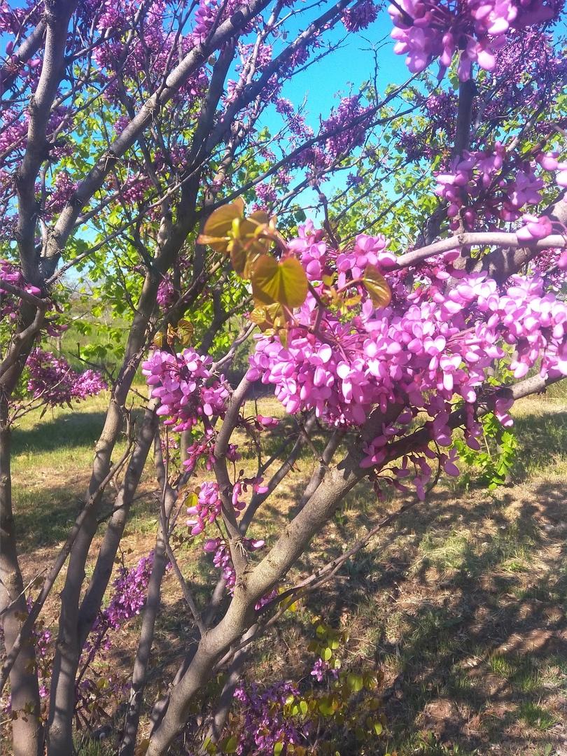 церцис иудино дерево багряник