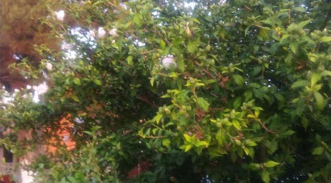 Сирийская роза гибискус — чай и лекарство